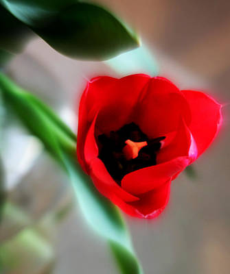 Red Tulip Print by Cathie Tyler