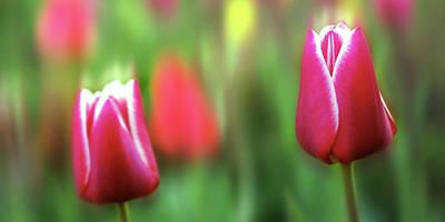 Red Tulip Print by Ralph Klein