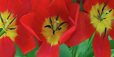 Red Tulip Trio Print by Ben and Raisa Gertsberg