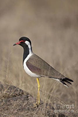 Lapwing Photograph - Red-wattled Lapwing by Bernd Rohrschneider/FLPA
