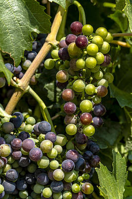 Red Wine Grape Colors In The Sun Print by Teri Virbickis