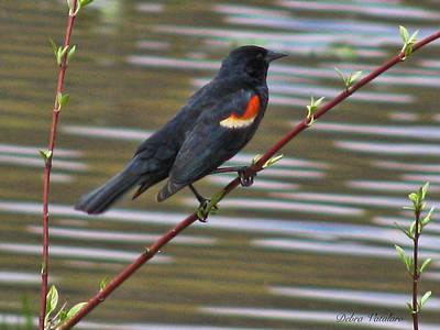 Nature An Bird Photograph - Red Wing Black Bird by Debra     Vatalaro