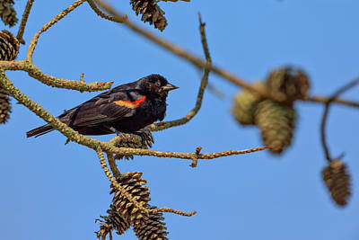 Pine Cones Photograph - Red-winged Blackbird  by Rick Berk