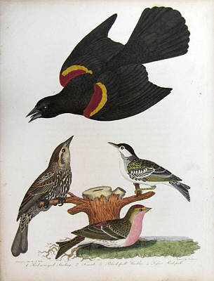 Starlings Painting - Red Winged Starling Black Poll Warbler Lesser Red Poll by Alexander Wilson
