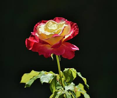 Red Yellow Rose IIi Print by Linda Brody