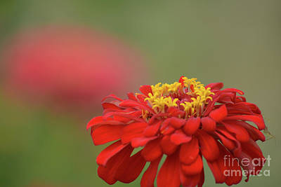 Red Zinnia  Print by Ruth Housley