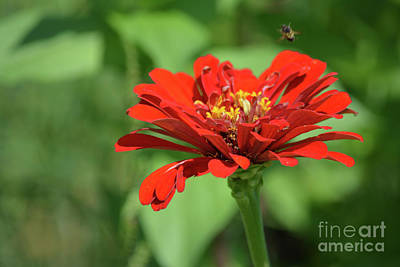 Red Zinnia With Flying Bee Print by Ruth Housley