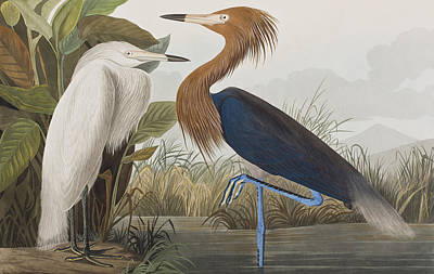 Egret Drawing - Reddish Egret by John James Audubon