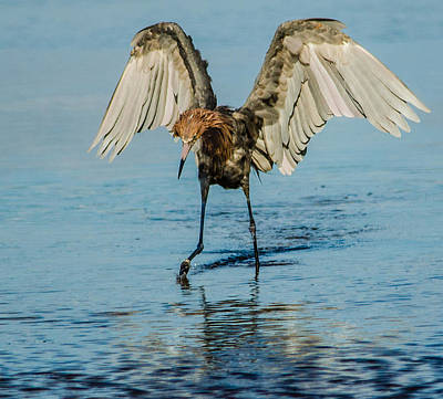 Photograph - Reddish Egret by Patty MacInnis