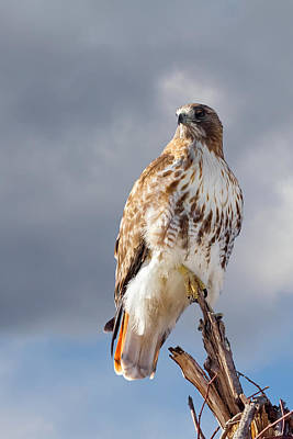 Redtail Portrait Print by Bill Wakeley