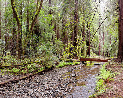 Redwood Creek Flowing Through Muir Woods National Monument - Mill Valley Marin County California Print by Silvio Ligutti