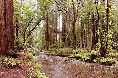 Redwood Creek Peacefully Flowing Through Muir Woods National Monument - Marin County California Print by Silvio Ligutti