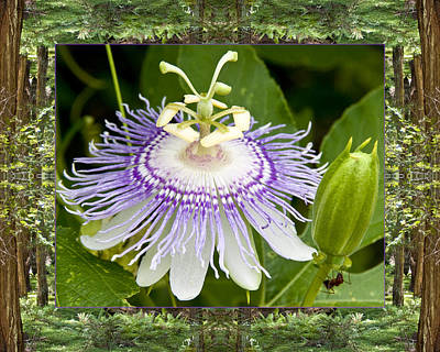 Passionflower Photograph - Redwood Passion by Bell And Todd