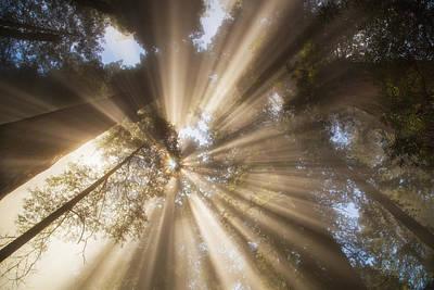 Redwoods Sunburst Print by Kunal Mehra
