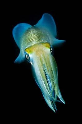 Reef Squid Print by Matthew Oldfield