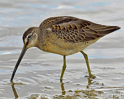Dowitcher Photograph - Refueling by Tony Beck