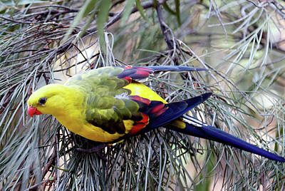 Royal Australian Navy Photograph - Regent Parrot by Nicholas Blackwell