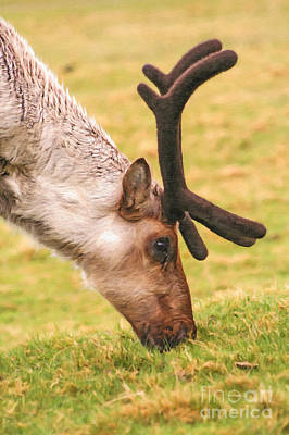 Deer Digital Art - Reindeer Grazing by Liz Leyden