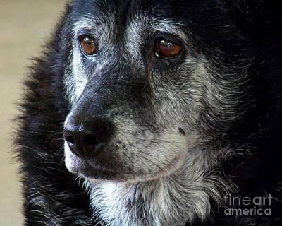 Senior Dog Photograph - Reminiscing  by Jai Johnson