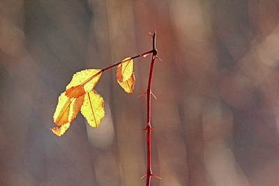 Prickly Wild Rose Photograph - Remnants by Debbie Oppermann