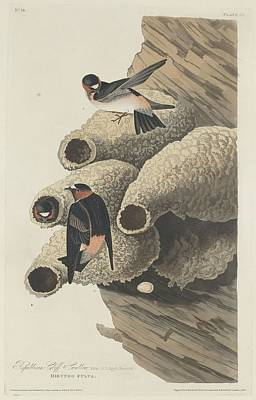 Swallow Drawing - Republican Cliff Swallow by John James Audubon