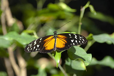 Resting Butterfly Print by Sven Brogren