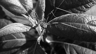 Granddaddy Photograph - Resting Long Legs by James Owens