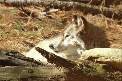 Resting Wolf Print by Karol Livote