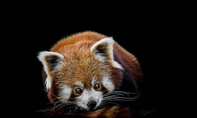 Panda Photograph - Restless by Paul Neville