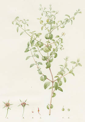 Flemish Drawing - Rhexia Glandulosa by Pierre Joseph Redoute