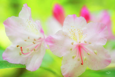 Spring Photograph - Rhododendron 5 by Leland D Howard