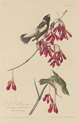 Rice Bunting Print by John James Audubon