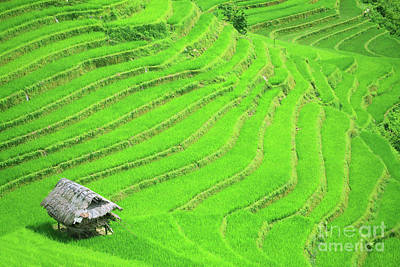 Rice Field Terraces Print by MotHaiBaPhoto Prints