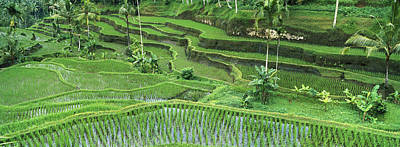 Rice Oryza Sativa Paddy In The Ubud Print by Cyril Ruoso