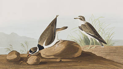 Plovers Painting - Ring Plover  by John James Audubon