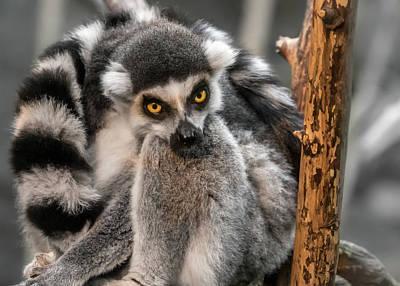 Lemur Photograph - Ring Tailed Lemur by Jim Hughes