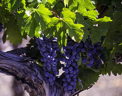 Ripe Grapes Print by Garry Gay