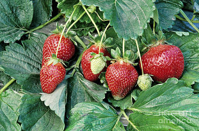 Strawberry Fields Photograph - Ripe Strawberries by Inga Spence