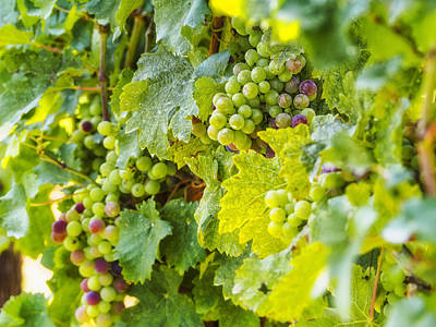 Bunch Of Grapes Photograph - Ripening Grapes by Marianne Campolongo