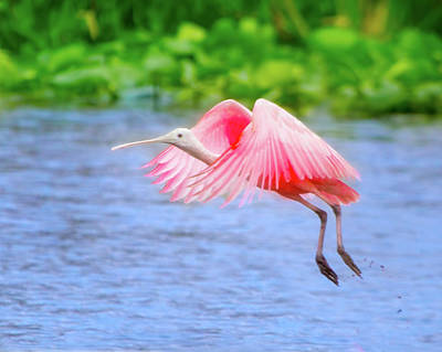 Spoonbill Photograph - Rise Of The Spoonbill by Mark Andrew Thomas
