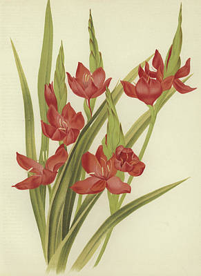 River Lily Or Crimson Flag Print by English School