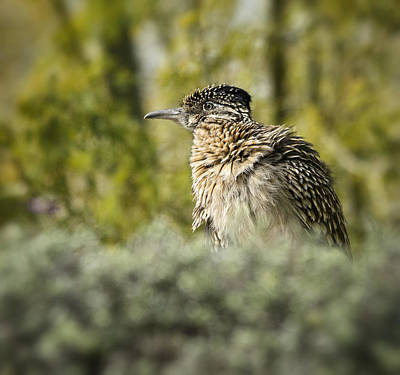 Roadrunner Photograph - Roadrunner On Guard  by Saija  Lehtonen
