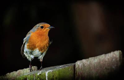 Robin Print by Nigel Jones
