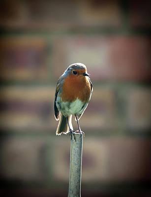Robin On A Stick Print by Nigel Jones