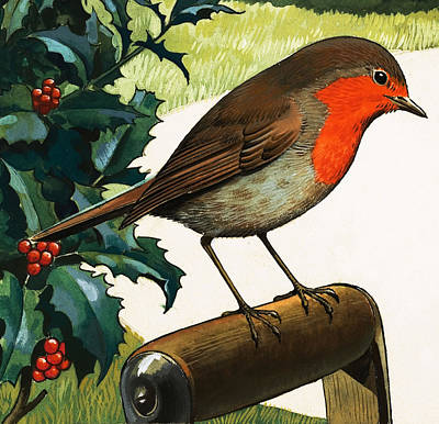 Berry Drawing - Robin Redbreast by English School