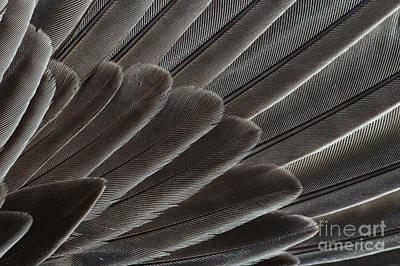 Robin Photograph - Robin Wing Feathers by John Kaprielian