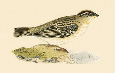 Sparrow Painting - Rock Sparrow by English School