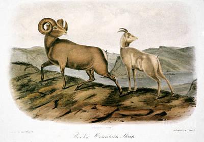 Audubon Photograph - Rocky Mountain Sheep, 1846 by Granger