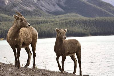 Rocky Mountains Digital Art - Rocky Mountain Sheep by Mark Duffy