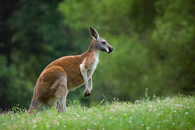 Kangaroo Photograph - Roo by Ryan Heffron